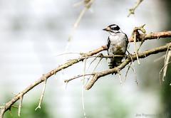 woodpecker (Joe Papagoda) Tags: life bird nature birds woodpecker nikon branch 300mm perch f4 d300