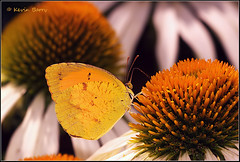 Sleepy Orange (Kevin B Photo) Tags: park flowers orange usa white hot flower color nature beautiful beauty horizontal closeup butterfly insect photography one wings colorful day texas afternoon unitedstates graphic feeding native tx calm manmade flowering daytime perched wildflowers hillcountry winged captive serenitynow kevinbarry sleepyorange wowiekazowie colourlicious 100ypl
