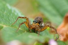 Female Wolf spider (riggy-riggo) Tags: macro woodland spider kent arachnid grassland wolfspider femalewolfspider