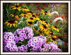 Across the Flower Garden (clickclique) Tags: flowers garden mix crocosmia gooseneck gladiolas rudbeckias mywinners citritbestofyours fortamiphlox leafstrife