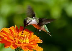 Small Wonders Series - (#1) (Windows to Nature) Tags: nikon chicagobotanicgarden rubythroatedhummingbird birdinflight archilochuscolubris nikkor300mmf4 d7000 windowstonature summer2012 windowstonaturecom