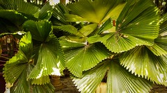 FAN LEAVES (Pixelsplasher) Tags: leaves palm anahaw