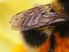 Wings on Bee - Ljósálfur ??????????? (Ólafur Ingi) Tags: black macro water yellow fly drops wings wing drop bee gulur fluga vængur vængir svartur