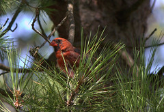 cardinal in a pine (beaumontpete) Tags: ontario tree pine canon cardinal cardinaliscardinalis ipperwash t2i efs55250mmf456is
