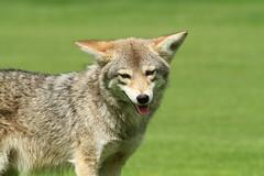 predator close up (Eyesplash - Explore is so 2009...for me at least..) Tags: coyote wild dog grass animal fur legs predator