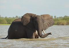 Swimming elephant 5 (Tris Enticknap) Tags: africa elephant tanzania wildlife safari mammals africanelephant selous elephantswimming lakenzerakera seloustanzania tanzaniananimals tanzanianwildlife httpwwwtrissystravelsblogspotcouk