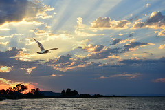 Soaring (BluAlien) Tags: light sunset bird water clouds flying nikon action flight rays 28 seagul d800 70200mm vrii