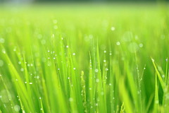Morning dew/Rice Plant (arixxx+++) Tags: morning summer plants macro green nature canon drops