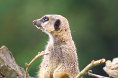 Marwell Wildlife - Meerkat (Kevin Browne Photography) Tags: green animals zoo sticks eyes meerkat background logs twigs marwellwildlife