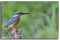 Martin pêcheur (Alcedo atthis) (Denis.R) Tags: blue france bird nature animal animals canon observation wildlife lookout bleu kingfisher luxembourg animaux protection lorraine libre luxemburg oiseaux sauvage alcedoatthis martinpêcheur affut préservation affût billebaude denisr denisrebadj