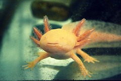 axolotl (Giulia van Pelt) Tags: nature water animal aquarium natura salamander aquatic acqua acquario axolotl animale salamandra gilled ambystoma acquatico mexicanum neotenic