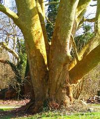 mmorial de l'escadrille lafayette, garches, vaucresson, platane, arbre, vnrable, (tamycoladelyves) Tags: cute nature ecology rural wonderful
