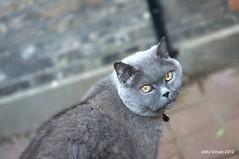 Cute Blue Cat (mnadi) Tags: cat portraits nikon picasa gato bluecat cutecat britishshorthair cato d800