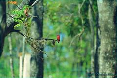Contraste (Ari Lopes da Rosa) Tags: bird pássaro vermelho ave contraste príncipe pni parquedasnaçõesindígenas arilopesdarosa