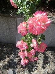 CIMG9055 (Akieboy) Tags: pink roses flower blossom bloom esplanadedeladefense
