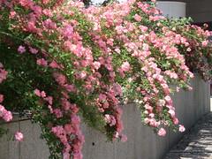 CIMG9056 (Akieboy) Tags: pink roses flower blossom bloom esplanadedeladefense
