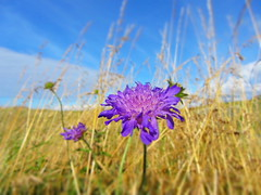 Summer ending (flips99) Tags: blue sky flower field grass norway landscape golden purple himmel august wildflower gress blomst 2012 lilla selectivefocus bl landskap latesummer karmy fieldscabious knautiaarvensis villblomst rdknapp canonpowershotsx220hs