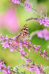 Heartfelt Butterfly Dreams (bigbrowneyez) Tags: pink flowers green nature beautiful butterfly dof heart sweet bokeh pastels dreamy lovely elegant delicate dainty delightful pinkheart pinkheartbokeh rememberthatmomentlevel1 flickrflutter heartfeltbutterflydreams