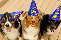 34/52 Jett turns 2. (RocketDog1170) Tags: birthday dogs aussie australianshepherd aussies redmerle blacktri 52weeksfordogs