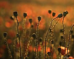 It was worth the 4am alarm.... (Sue MacCallum-Stewart) Tags: sunset macro nature brighton earlymorning poppies wildflowers seedheads
