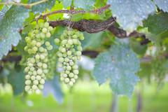 Vineyard (Yuri Figuenick) Tags: summer stilllife food white green japan fruit vineyard focus dof bokeh grapes yamanashi 50mmf14 katsunuma canoneos5dmarkiii