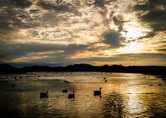 Crosby Marina Duck Pond (bettyfrascati) Tags: crosbymarina golden duckpond shimmer glimmer shine ducks sunset contrast silhouette merseyside crosby