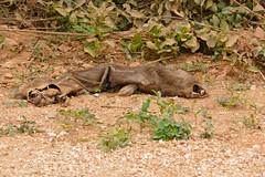 Capybara (Hydrochoerus hydrochaeris) : 5 days old roadkill, only skin and bones left ... (berniedup) Tags: pantanal transpantaneira pocon capybara hydrochoerushydrochaeris roadkill