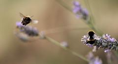 Busy (GillK2012) Tags: bumblebee summer nature bokeh lavender