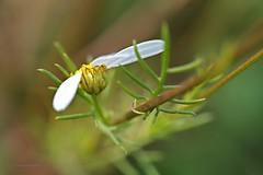 falsche Kamille (DianaFE) Tags: dianafe blüte pflanze blume wildkraut wiesenblume makro tiefenschärfe schärfentiefe