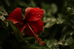 Sway (DeniseLives) Tags: nature naturallight green red flower flowers bright summer colorful smooth bokeh 18 35mm18 35mm 3518g leaves nikon nikond600 d600 depthoffield plant petal