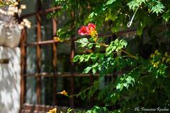 09082016-_DSC0091 (Franzberserk) Tags: fiori francescasaponari mare natura puglia trani fiorirossi italia primopiano verde villacomunale