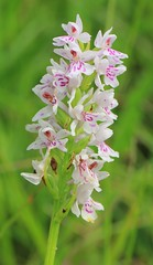 Common Spotted-orchid -Dactylorhiza fuchsii (spotted leaves) Swifts Hill WT reserve Gloucs -270616 (3) (ailognom2005-Catching up slowly.) Tags: orchids commonspottedorchids flora flowers macro swiftshillwtreserve wildlifetrust naturereserves naturalhistory wildflowers dactylorhizafuchsiispottedleaves
