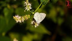 04827-20 de agosto de 2016 (Tres-R) Tags: spain espaa galicia corua mariposa butterfly insect insectos airelibre rodolforamallo tresr sonyrx10