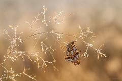 Good Morning! (Anita van Rennes) Tags: kleine parelmoervlinder issoria lathonia queen spain fritillary