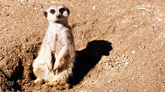 Meerkat (Gjesdal.org (away on vacation)) Tags: meerkat sigma150500mmf563apodgoshsm topazglow nikon d810 suricatasuricatta denlilledyrehagen austagder norway no
