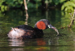 Little Grebe (Tachybaptus ruficollis) with Bullhead (Cottus gobio) (Lathers) Tags: derbyshire 16august2016 tachybaptusruficollis littlegrebe bullhead cottusgobio canonef500f4lisusmcanonef14extender canoneos1dx