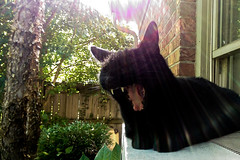 fangs in the afternoon (cleotalk) Tags: cat fangs black chat noir gato negra sunshine yawn afternoon feline