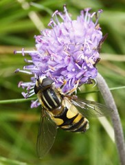 Helophilus pendulus female  syrphidae (BSCG (Badenoch and Strathspey Conservation Group)) Tags: gos