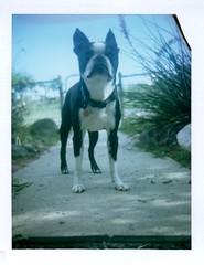 Ivan, sidewalk portrait, August 28 (EllenJo) Tags: fujifp100c fujiinstantfilm polaroid august2016 ellenjo instantfilm savepackfilm 2016 colorpack3 colorpack 1970spolaroid instant peelapartinstant ellenjoroberts bostonterrier ivan dog pet