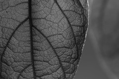 Nature's own map (J. Roseen) Tags: leaf lv veins vener structure patterns mnster eos7dmkii nature naturalworld close nra mono svartvit blackwhite bw macro ef100mm f28 usm