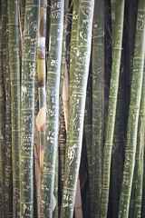 Bamboo Writings (Schwaco) Tags: plant grow growth bamboo green stem long straight scratch scrathes writing carving message language scrape scraping vertical