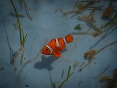 nemo in our pool (tobiasbegemann) Tags: fish nemo orange water blue tobias begemann saarbrcken germany world street landscape people animal travel nature photography creative commons flickr macro