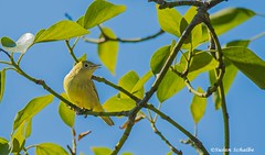 A warbling warbler (Photosuze) Tags: warblers yellowwarblers singing birds avians aves nature wildlife animals yellow