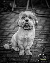 Oscar Dog (LAJ-Photography) Tags: animal dog pet outdoor blackwhite garden cute fury colar