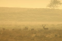 "Deer In The Mist ""Explored"" (Derbyshire Harrier) Tags: reddeer stag rut moorland mist dawn morning silverbirch wildreddeer hinds september peakdistrict peakpark derbyshire autumn easternmoors rspb nationaltrust bigmoor 2016 explore explored"