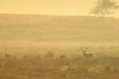 """Deer In The Mist """"Explored"""" (Derbyshire Harrier) Tags: reddeer stag rut moorland mist dawn morning silverbirch wildreddeer hinds september peakdistrict peakpark derbyshire autumn easternmoors rspb nationaltrust bigmoor 2016 explore explored"""