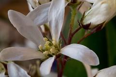 White petals , #Flora , #beautiful , #splendid , #Bokeh , #photoart , #sunshine , #wanderlust , #flower , #spring , #perspective , #blossom , #Exposure , #Garden , #contrast , #Photography , #Nature , #outdoor , #flower , #color , #Light , #composition , (jwzw@ymail.com) Tags: white petals flora beautiful splendid bokeh photoart sunshine wanderlust flower spring perspective blossom exposure garden contrast photography nature outdoor color light composition bloom photographer stamen closeup macro upclose mothernature delicate