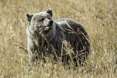 Silverback Griz Cub Smiles (lgambon) Tags: grizzly bear cub wildlife animal predator cute