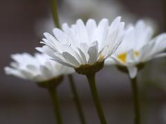 _1140733 (Old Lenses New Camera) Tags: flowers plants daisies garden panasonic g1 konica 135mm shastadaisy hexanon f32