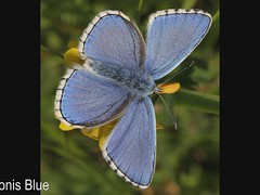 A few of the Butterflies of the U.K. (Sandra Standbridge.) Tags: butterfly butterflies various flickraward sandrastandbridge